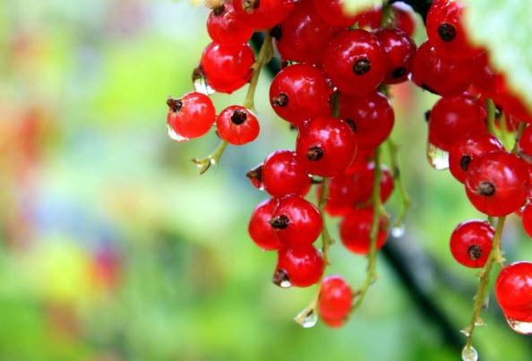 Польза красной смородины для женщин