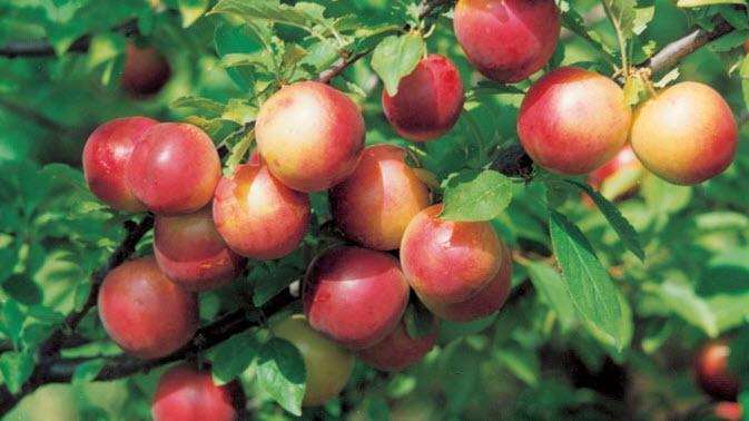 Что полезнее нектарины или персики?