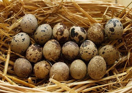 Польза и полезные свойства перепелиных яиц