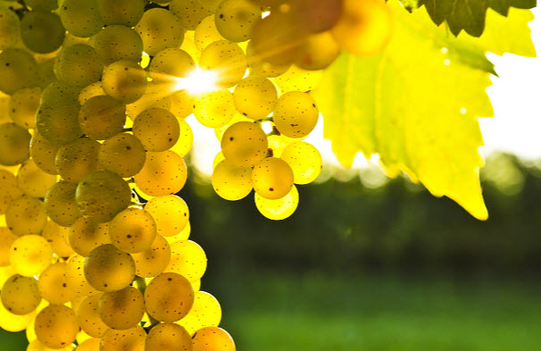 Влияние винограда на организм человека